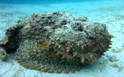Stonefish in the Philippines