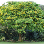Narra Treee