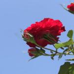 La Rosa non cantata di Borges