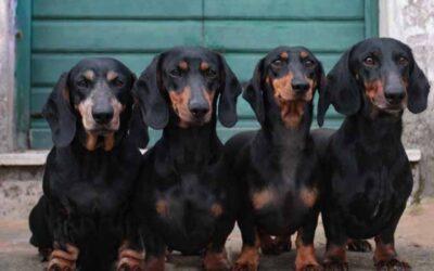 CANI DA COPERTINA – La storia del mondo in 50 cani. In primo piano i bassotti del fotografo Marco Leonardi